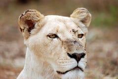 Weißes Löwin-Portrait Stockfotografie