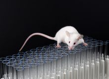 Weißes Labormäusespiel auf Rohren stockfoto