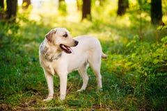 Weißes Labrador retriever-Hundespielen im Freien herein Lizenzfreies Stockfoto