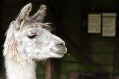 Weißes Lama, das einen Stock kaut lizenzfreie stockfotos