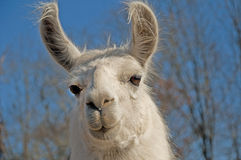 Weißes Lama, das entlang der Kamera anstarrt Stockfoto