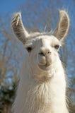 Weißes Lama, das entlang der Kamera anstarrt Stockbild