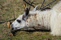 Weißes Lama mit Niederlassungen treeLama glama Lizenzfreie Stockbilder