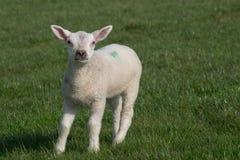 Weißes Lamm, das auf dem Gras gegenüberstellt die Kamera steht Stockfoto