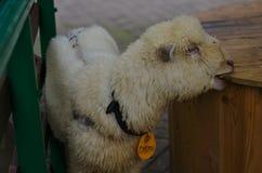 Weißes Lamm, das Holztisch kaut lizenzfreie stockfotografie