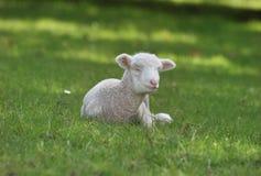 Weißes Lamm, das sich hinlegt Stockbilder