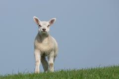 Weißes Lamm, welches die Kamera gegenüberstellt Lizenzfreie Stockfotografie