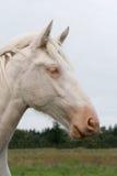 Weißes Landpferd Stockfotografie