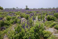 Weißes lavenda im purpurroten blühenden Ackerland Stockfotografie
