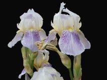 Weißes lila Irismakro Stockfotos