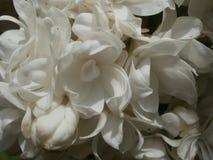 Weißes lila Makro Stockbild