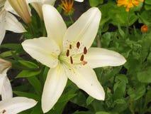 Weißes liliy Stockfotografie