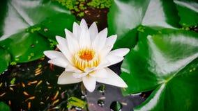 Weißes Lotus, gelber Blütenstaub Lizenzfreies Stockfoto