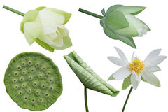 Weißes Lotus-Satz Lizenzfreie Stockfotos