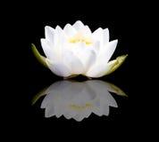 Weißes Lotus und Reflexion Stockfotos