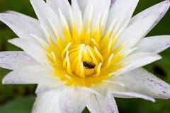 Weißes Lotus und Wanze Stockfotos