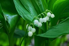 Weißes Maiglöckchen blüht auf dem Stiel unter den grünen Blättern stockbild
