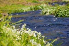Weißes meadowfoam (Limnanthes alba) blühend auf den Ufern eines Nebenflusses, Nordtafelberg-ökologische Reserve, Oroville, lizenzfreie stockfotos