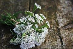 Weißes millefolium der Schafgarbe oder Achillea, gebürtiger Wildflower auf hölzernem Hintergrund Lizenzfreies Stockfoto