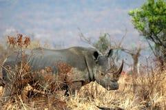 Weißes Nashorn Stockfotografie