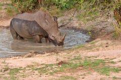 Weißes Nashorn Stockbilder
