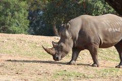 Weißes Nashorn Lizenzfreie Stockfotografie