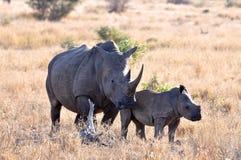Weißes Nashorn in Afrika Stockbilder