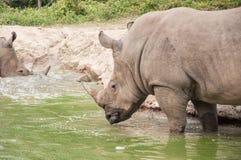 Weißes Nashorn, das Bad im Teich nimmt. Lizenzfreies Stockfoto