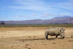 Weißes Nashorn, das mit anderem Nashorn und Zebras in der Safari steht stockfotografie