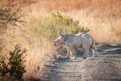 Weißes Nashorn im wilden Lizenzfreies Stockbild