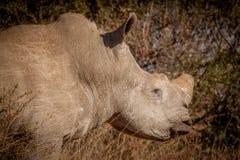 Weißes Nashorn im wilden Stockfoto