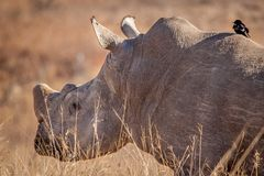 Weißes Nashorn im wilden Stockbilder