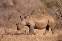 Weißes Nashorn-Kalb Stockfoto