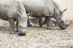 Weißes Nashorn mit Verletzungen Lizenzfreie Stockbilder