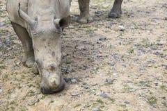 Weißes Nashorn mit Verletzungen Stockbild