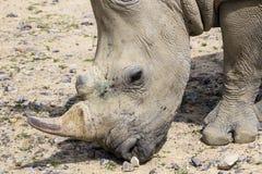 Weißes Nashorn mit Verletzungen Stockbilder