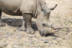 Weißes Nashorn mit Verletzungen Lizenzfreies Stockfoto