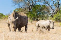 Weißes Nashorn mit Welpen, Südafrika Stockbild