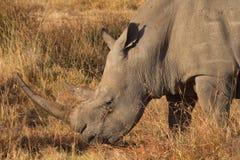 Weißes Nashorn in Nakuru Park Lizenzfreies Stockfoto