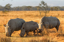 Weißes Nashorn in Nakuru Park Lizenzfreie Stockbilder