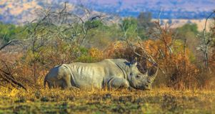 Weißes Nashorn in Pilanesberg lizenzfreies stockfoto