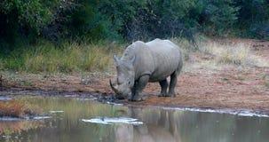 Weißes Nashorn Pilanesberg, Südafrika-Safariwild lebende tiere stock footage