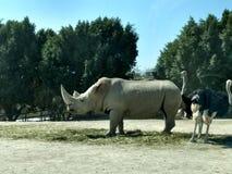 Weißes Nashorn und Strauß Lizenzfreie Stockfotos