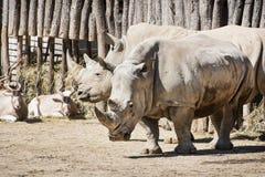 Weißes Nashorn und Wüstenkuh in der Gefangenschaft Stockfotografie
