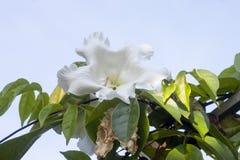 Weißes Nepal-Trompete oder -Beaumontia brevityba Oliv-Blume stockbilder
