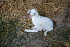 Weißes neugeborenes Lamm Lizenzfreies Stockfoto