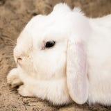 Weißes ohriges Hauskaninchen Schmierölniederdrucks, das sich auf Sand hinlegt Stockfotos