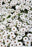 Weißes Osteospermum Stockbild
