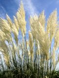 Weißes Pampasgras gegen blauen Himmel lizenzfreies stockfoto