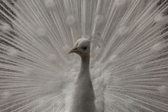 Weißes peacock-2 Stockfoto